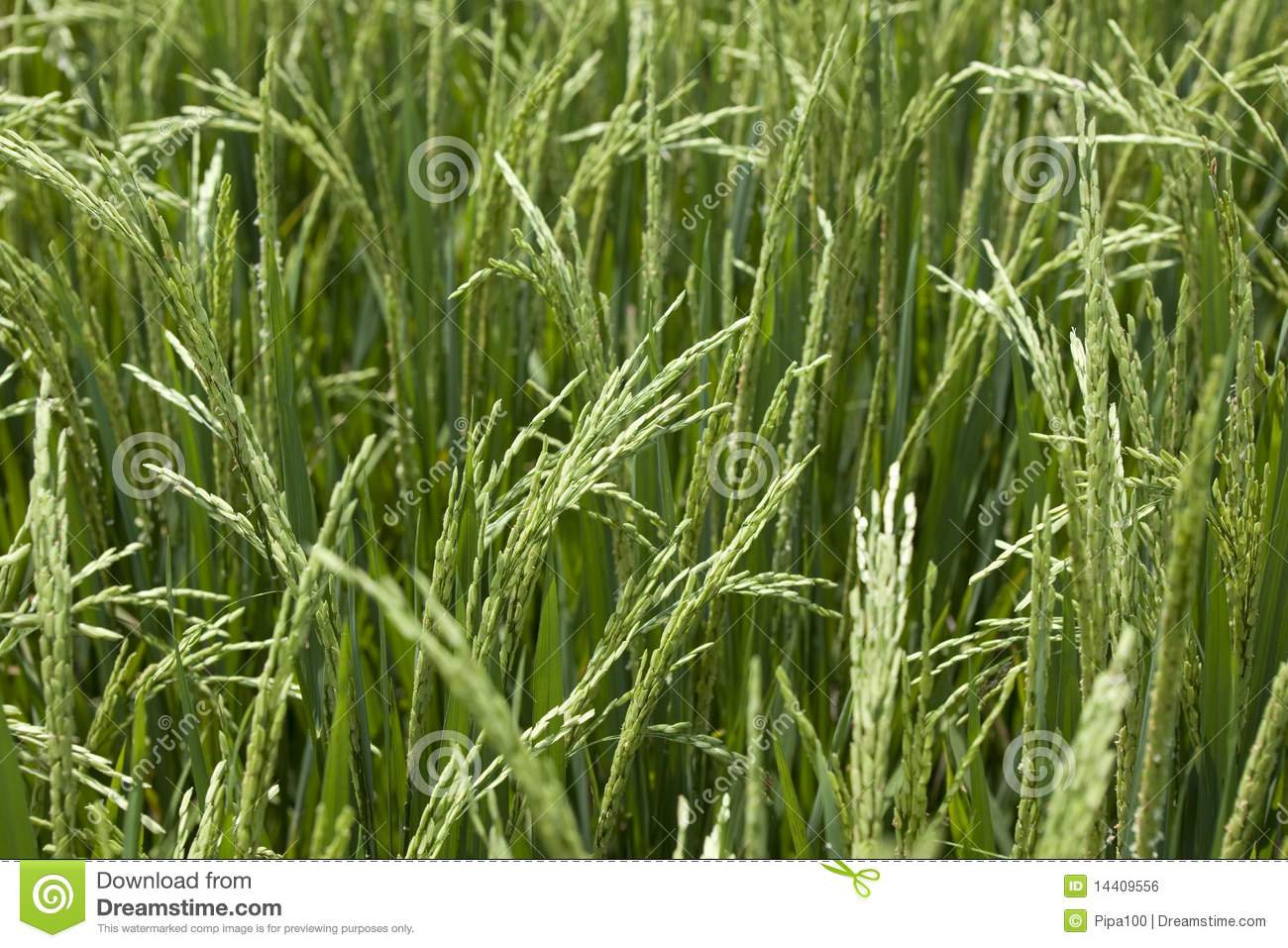 Rice Grains Ripening On Stalk Ready For Harvest In A Paddy Field At