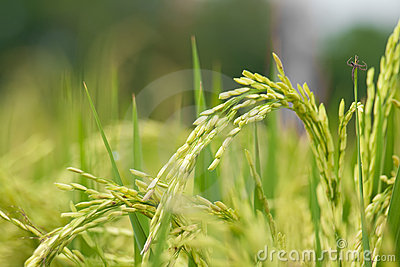 Rice Stalk In A Green Rice Field Ready To Be Harvested In A Couple Of