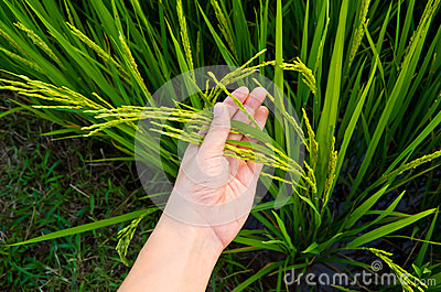 Rice Stalk On Hand Royalty Free Stock Images   Image  35468819