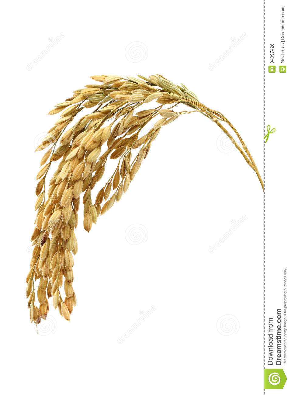 Royalty Free Stock Image  Rice Stalks
