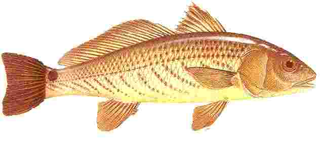 Red Drum Fish Clipart - Clipart Kid
