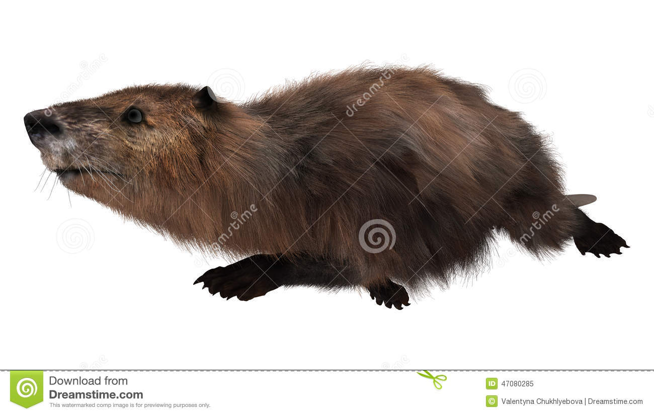 3d Digital Render Of A Cute Swimming Beaver Isolated On White