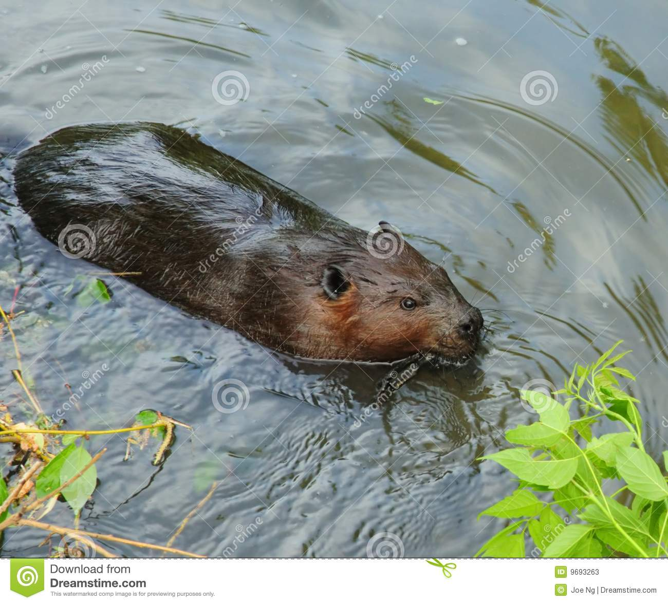 Beaver Swimming In Water Stock Photos   Image  9693263