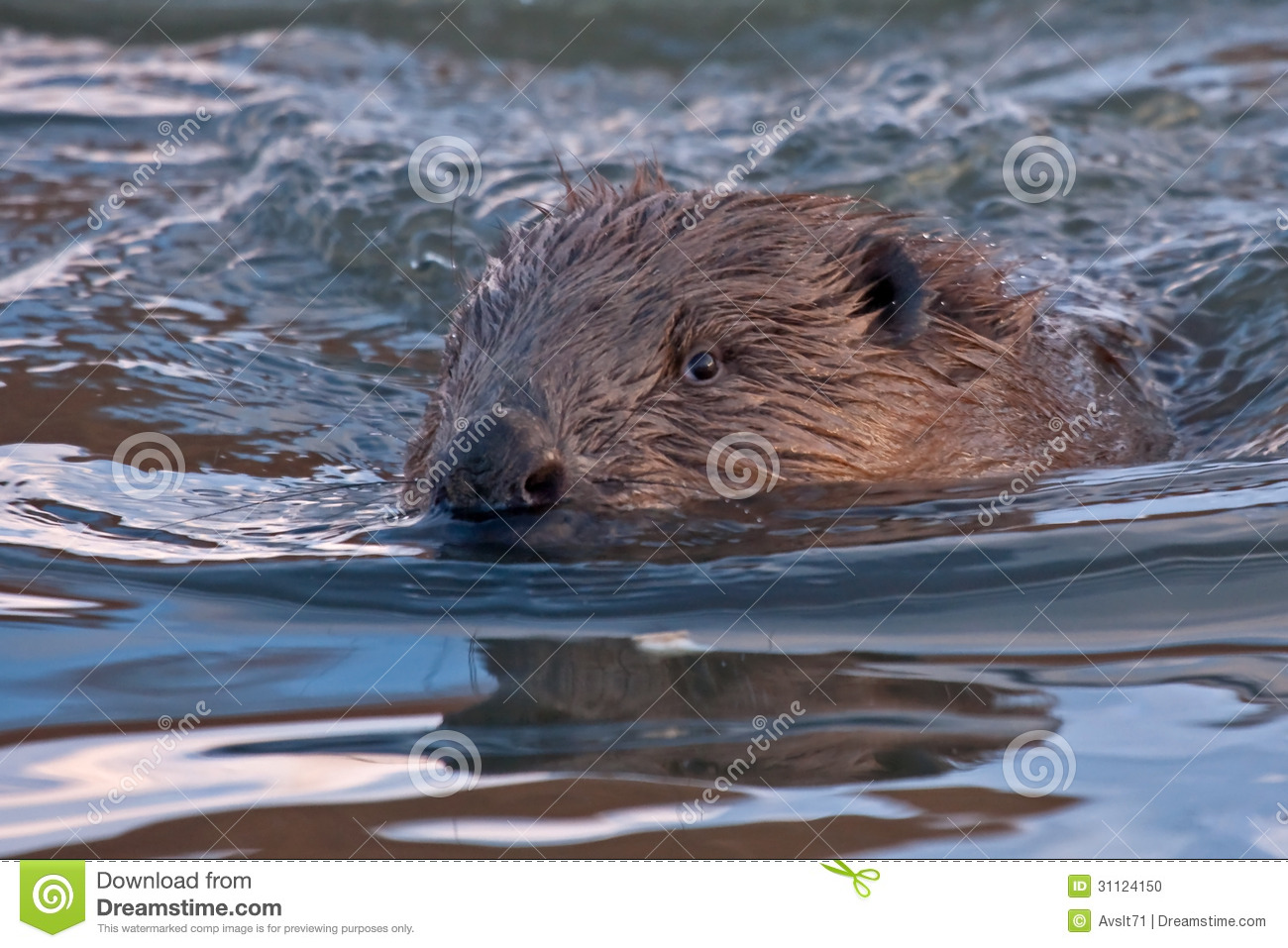 Close Up Of Swimming Beaver Stock Photo   Image  31124150