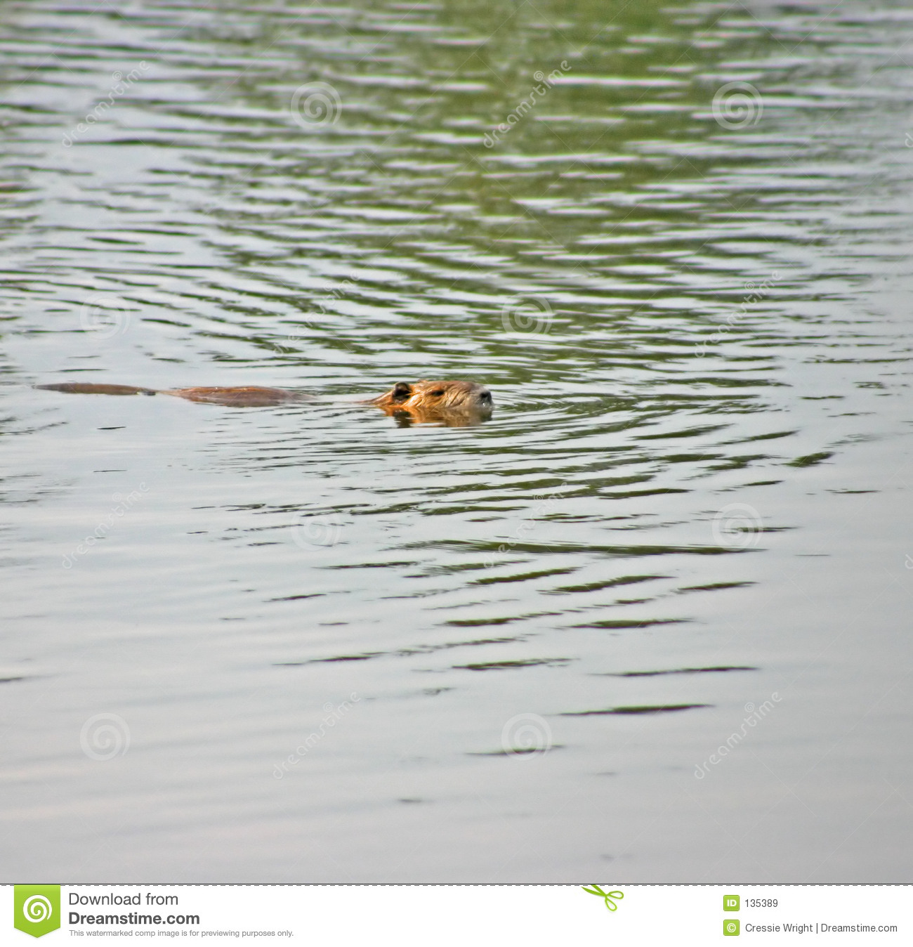 Swimming Beaver Royalty Free Stock Images   Image  135389