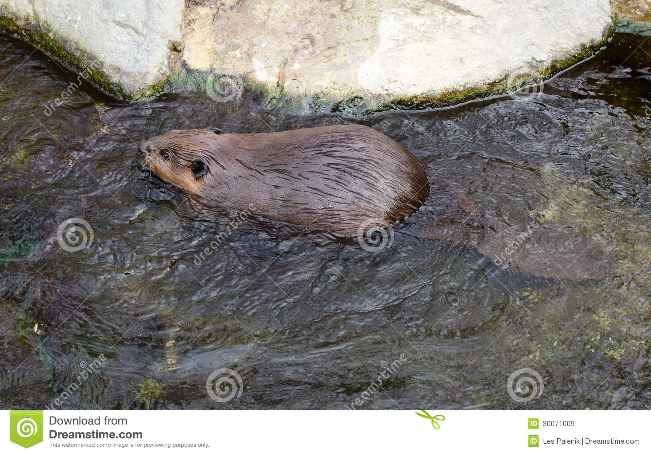 Swimming Beaver Royalty Free Stock Images   Image  30071009