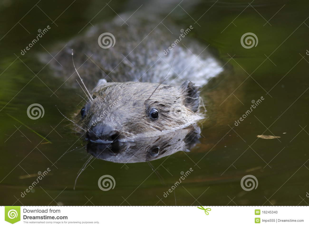 Swimming Beaver Stock Photo   Image  16245340
