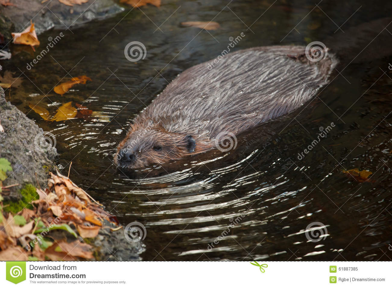 The Male Beaver Is Swimming
