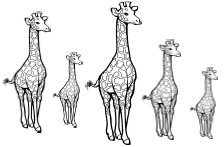 Giraffes And Sequence Them From Tall To Short Or From Short To Tall