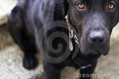 Puppy Dog Eyes Royalty Free Stock Images   Image  783149