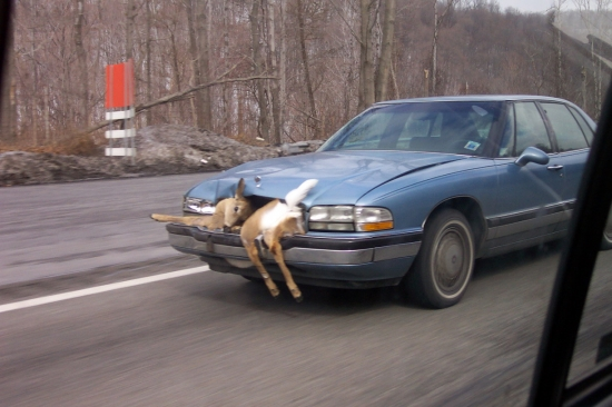 Car Deer Accident