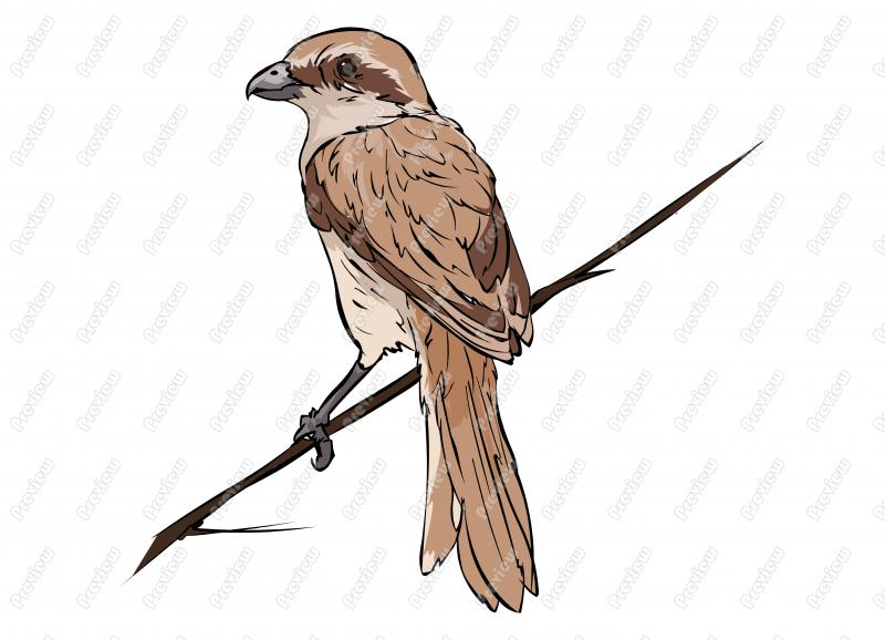 Realistic Brown Shrike Bird Character Clip Art   Royalty Free Clipart