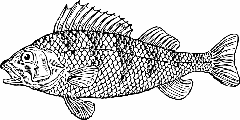 Search Terms  Bass Black And White Bw Coloring Pages Fish