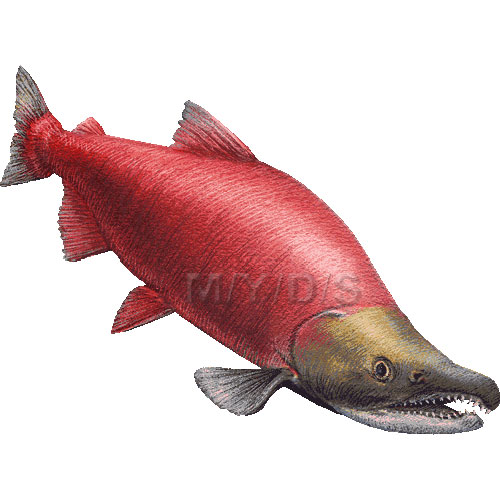 Red Salmon Sockeye Salmon Blueback Salmon Clipart Graphics  Free