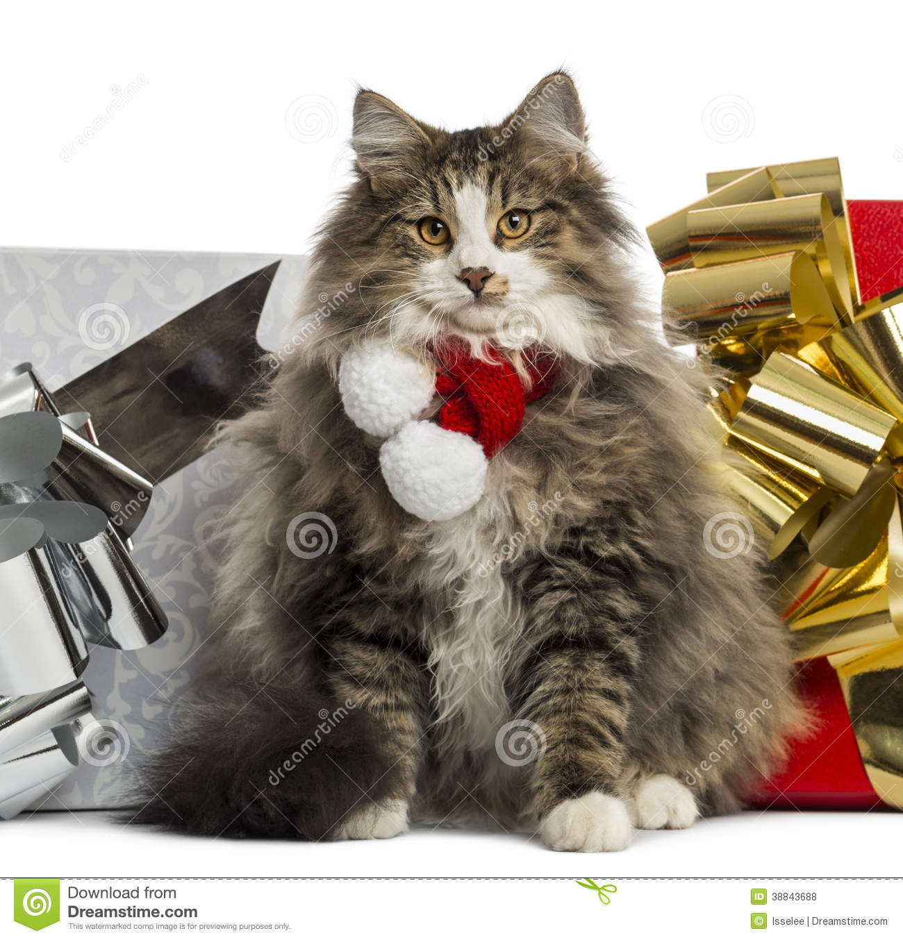 Norwegian Forest Cat Wearing A Christmas Scarf Stock Photo   Image