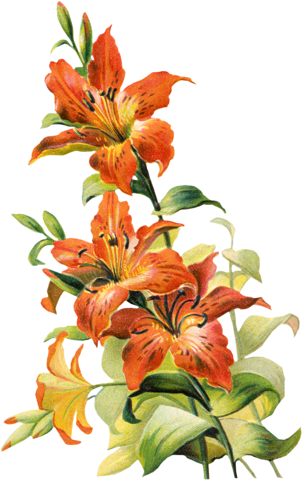 Clip Art White Tiger Lily – Cliparts