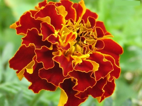 Marigolds   8 Best Flowers To Plant In The Fall