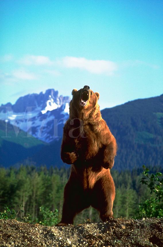 Bear Standing Growling