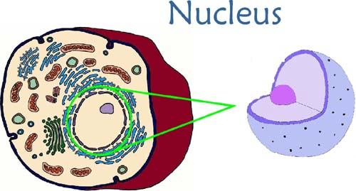 Animal Cell Nucleus Animal Cell Model Diagram Project Parts Structure