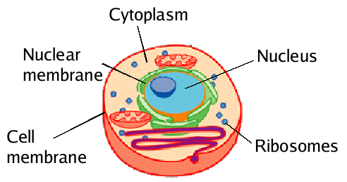 Animal Cells And Plant Cells   Cell As A Unit Of Life