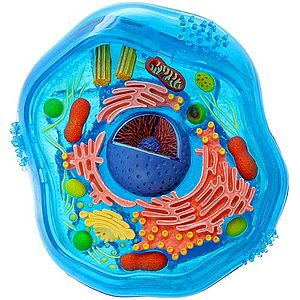 To Look At The Cell Its Self And Learn Its Relative Size And Parts