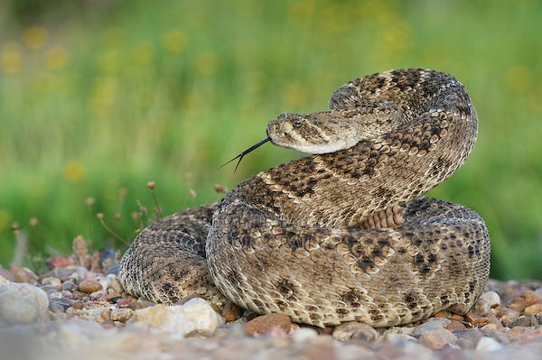 Rattlesnake Rattler S Clipart - Clipart Kid