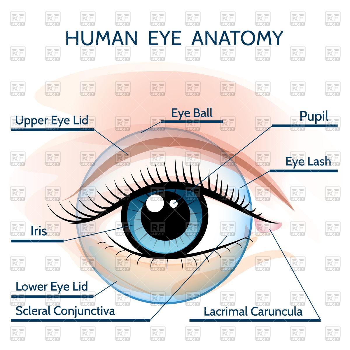 Free Clipart Human Anatomy