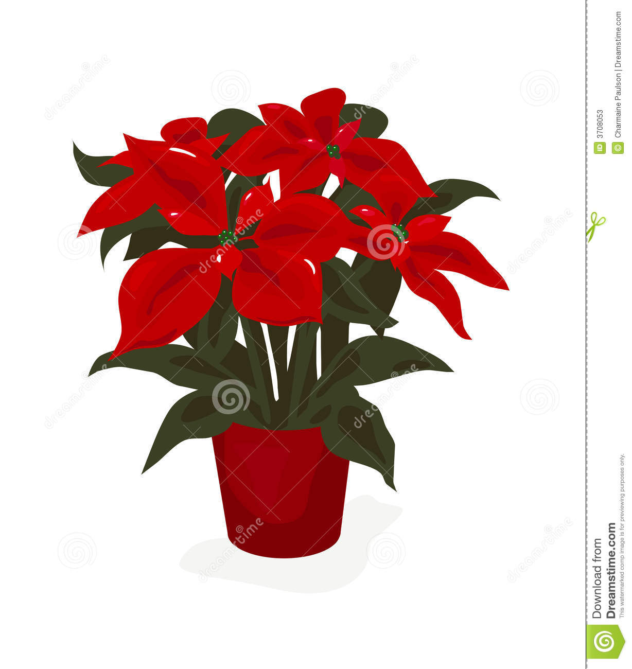 Beautiful Red Poinsettia Potted Plant For The Christmas Season