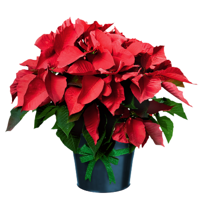 Poinsettia Clip Art Free   Cliparts Co
