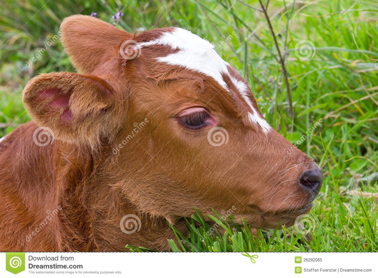 Brown baby cows - photo#23