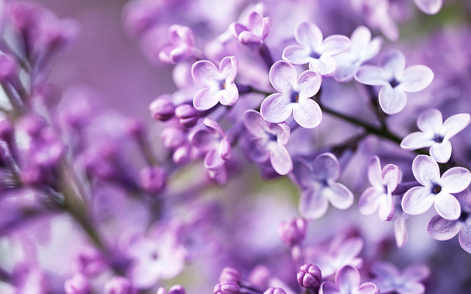 Purple Spring Flowers Wallpapers   Wall Scover