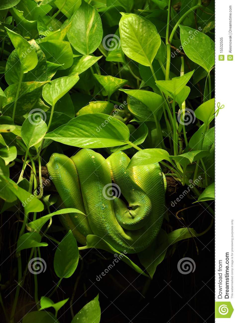 Snake In Jungle Royalty Free Stock Photo   Image  15532505