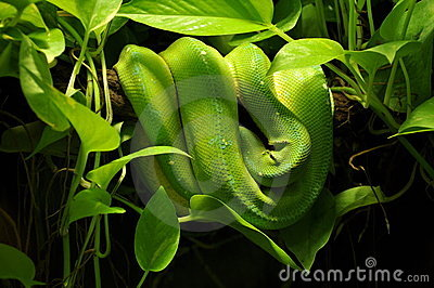 Snake In Jungle Stock Images   Image  15532504