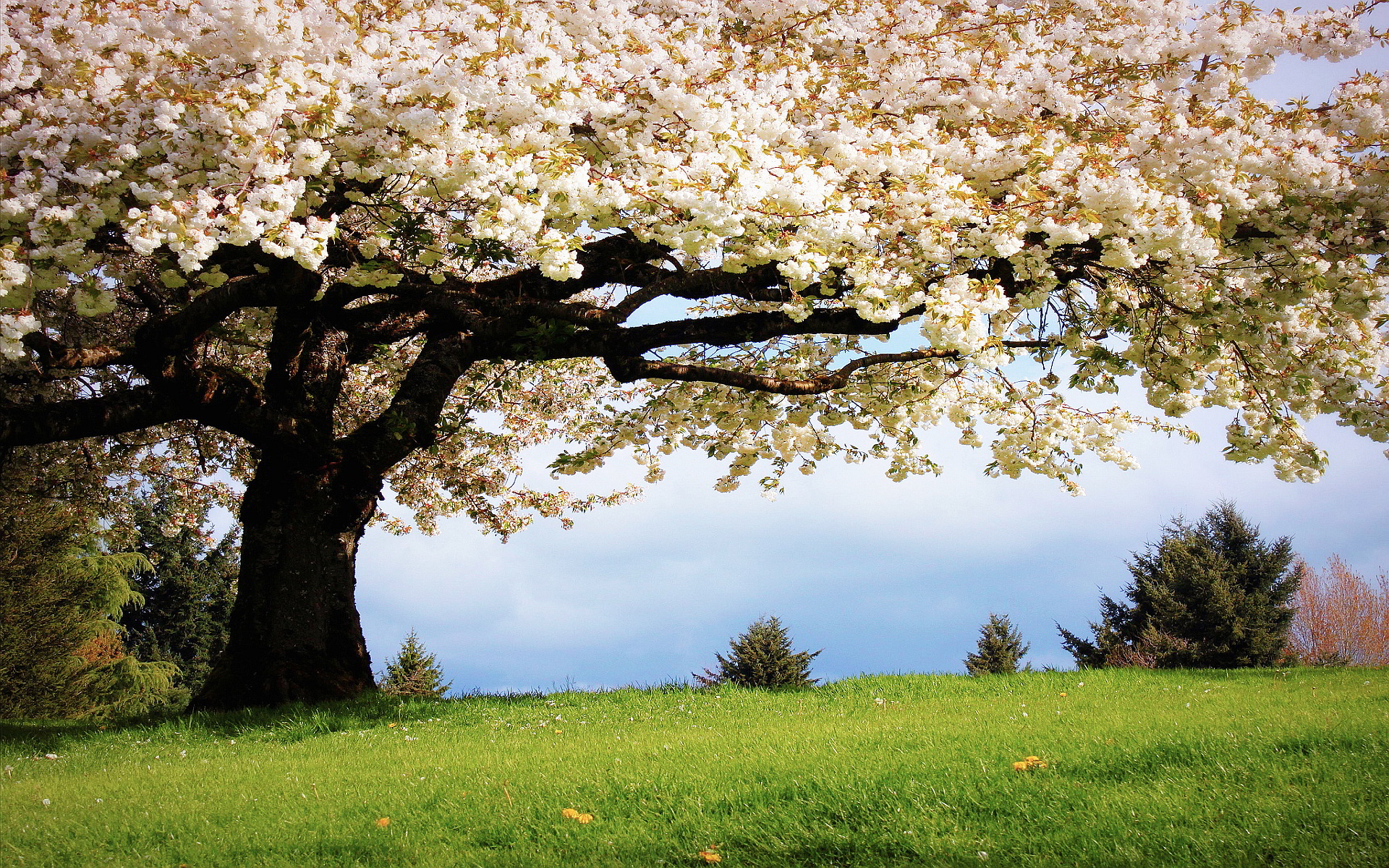 Spring Cherry Tree Wallpapers Pictures Photos Images