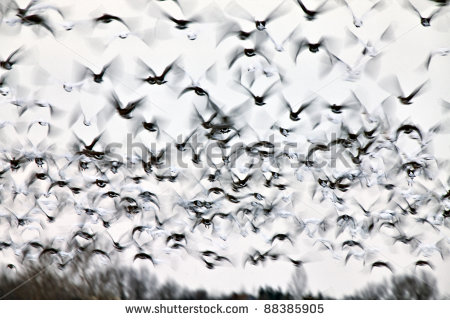 Flock Of Birds Stock Photos Illustrations And Vector Art