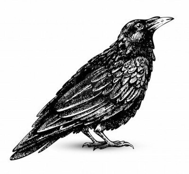 Raven Clip Art   Google Searchphotos Black Birds Crows Ravens