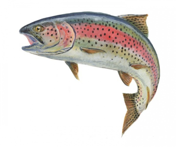 Rainbow Trout Clipart - Clipart Kid