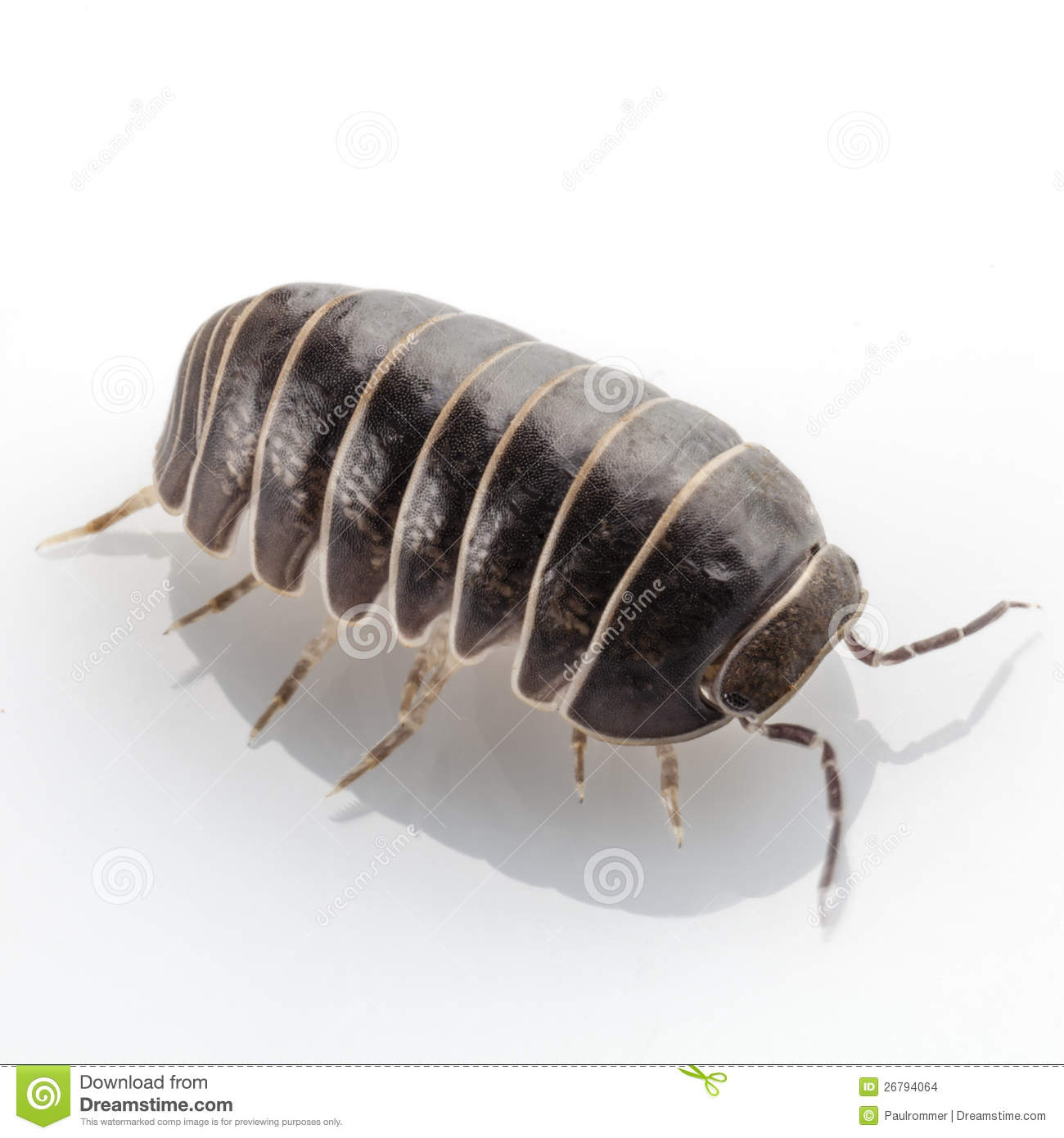 Pill Bug Armadillidium Vulgare Species Isolated On White Background