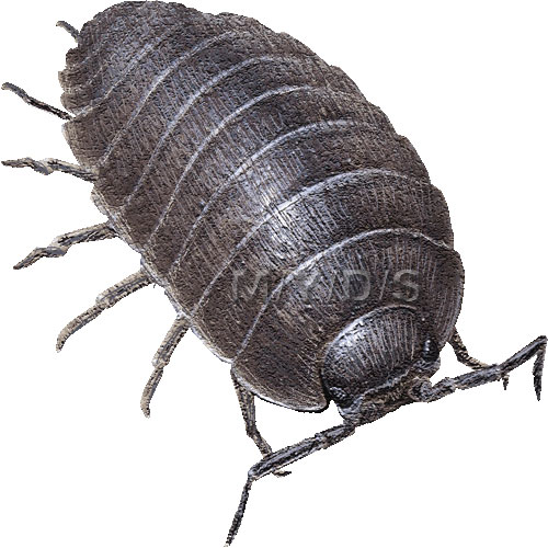 Pill Bug Clipart Picture   Large