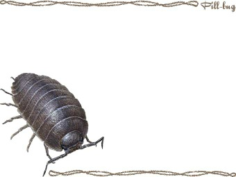 Pill Bug Pill Woodlouse Postcard