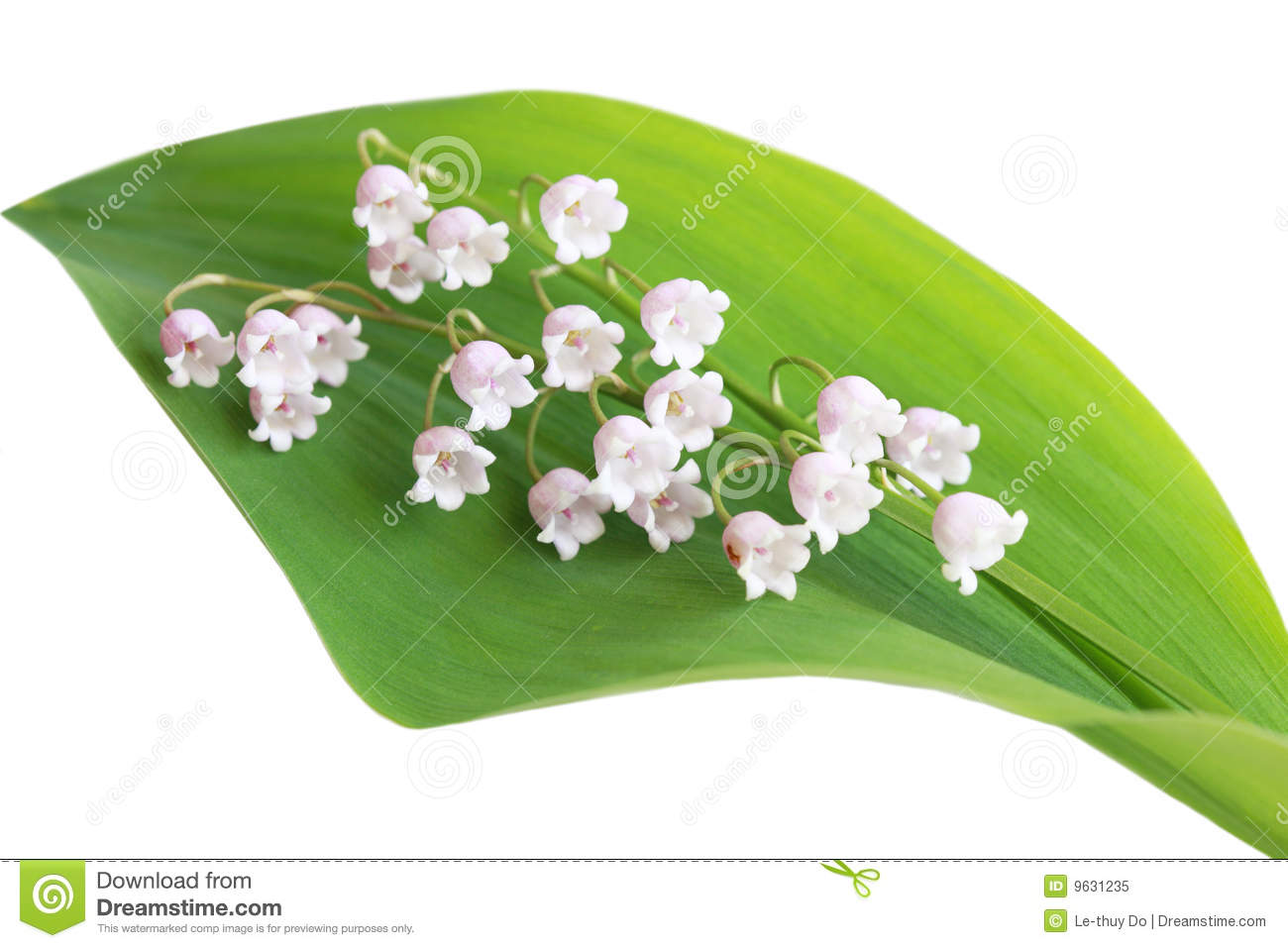 Royalty Free Stock Photo  Lily Of The Valley
