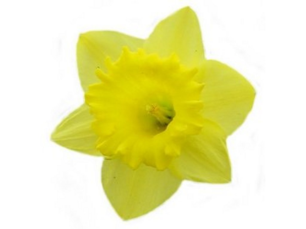 Clip Art Daffodil Clip Art daffodil clipart kid free pictures