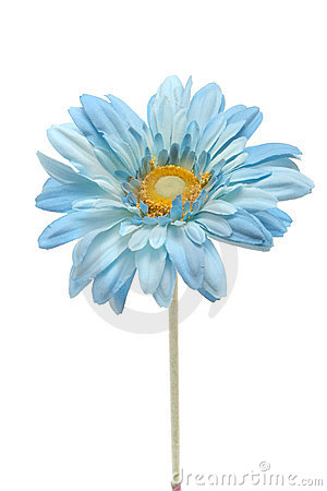 Blue Daisy Royalty Free Stock Photography   Image  3101667