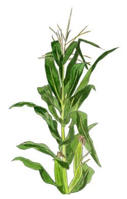 Clip Art Corn Stalk Clipart corn stalk clipart kid celebbest com