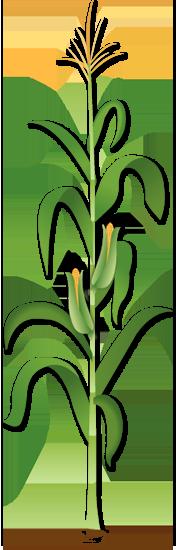corn stalk clipart clipart suggest