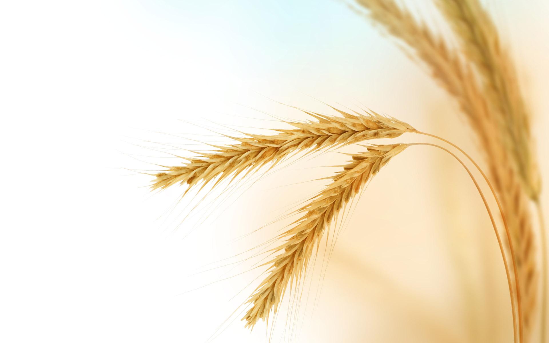 Wheat Crop Clipart - Clipart Kid