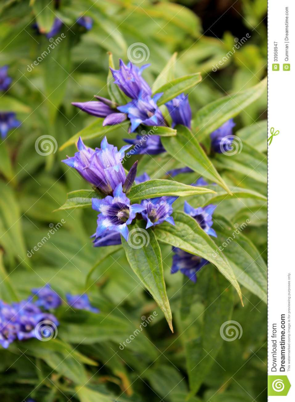 Blue Willow Gentian With Shallow Green Background Royalty Free Stock