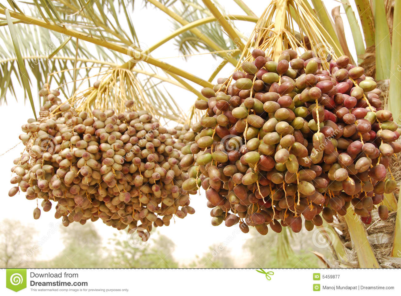 Dates Fruit Royalty Free Stock Photography   Image  5459877