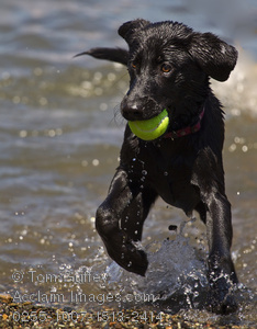 Pictures Swimming Dog Clipart   Swimming Dog Stock Photography