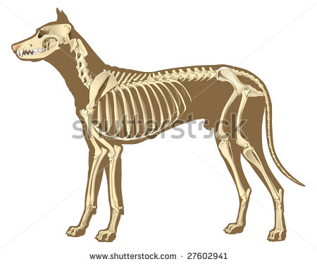 Skeleton Of Dog Section With Bones X Ray   Stock Vector